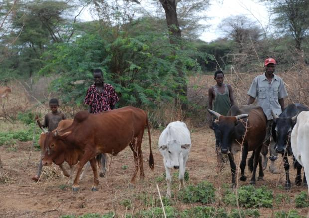 Cattle of the Ilchamus community near Lake Baringo