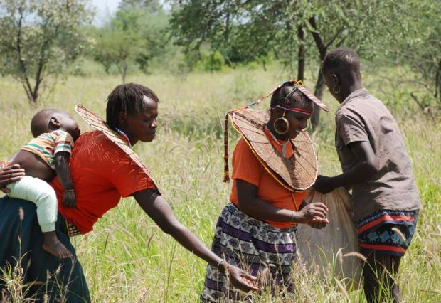 Pokot women harvesting grass seed
